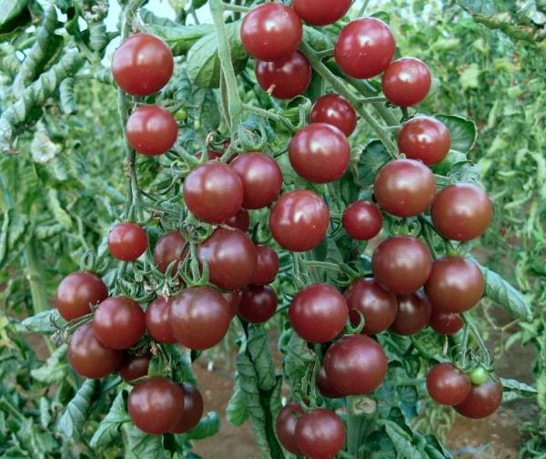 gourmet genetics cherry tomato black opal. Black Bedroom Furniture Sets. Home Design Ideas